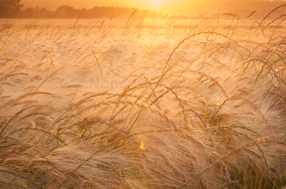 The wheat turns more golden every day.