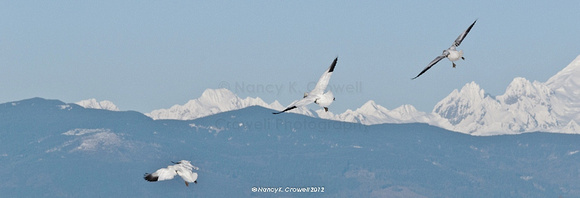 Snow geese in Skagit Valley, Washington.