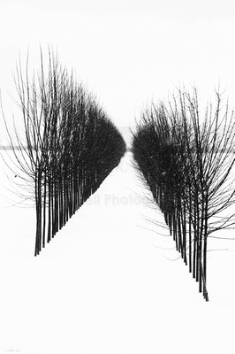 High contrast black and white image of two rows of trees converging in snow.