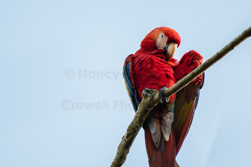 Scarlet macaw on a branch, looking down at camera.