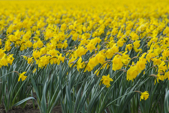 Yellow as far as the eye can see. Daffodils sway in the wind in the Skagit Valley, Washington.