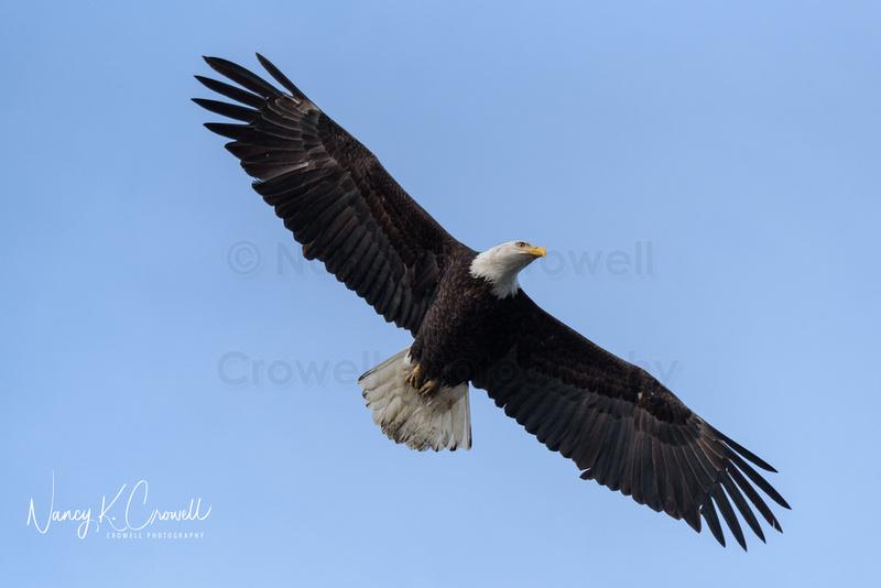 Single bald eagle in flight