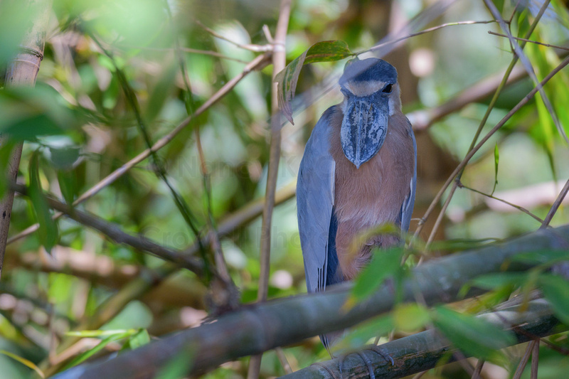 A boat-billed heron sitting on a branch in a tree looking directly at the camera.