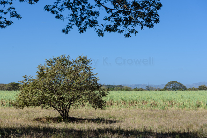 Photo of a sugar cane field with a single tree.