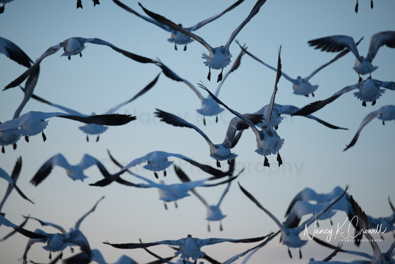 Photo of snow geese in flight at twilight.