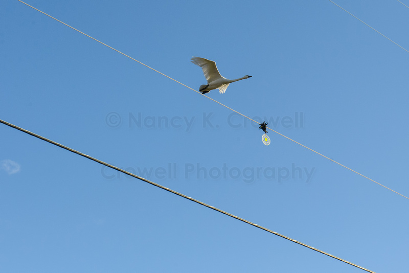 A lone trumpeter swan flies low, close to a powerline.