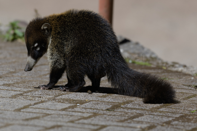 A coatimundi on pavement.