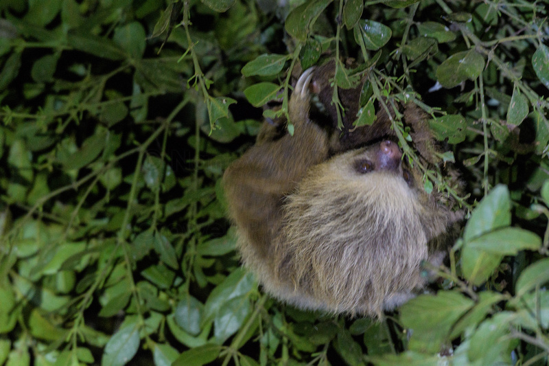 A two-toed sloth hanging from a tree branch.